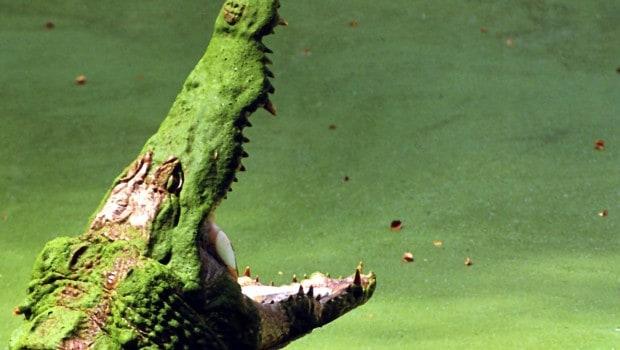 Ilhas-Ramree-Crocodilos