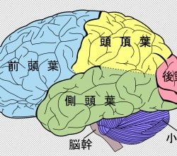 Diagrama-Japones-Cerebro