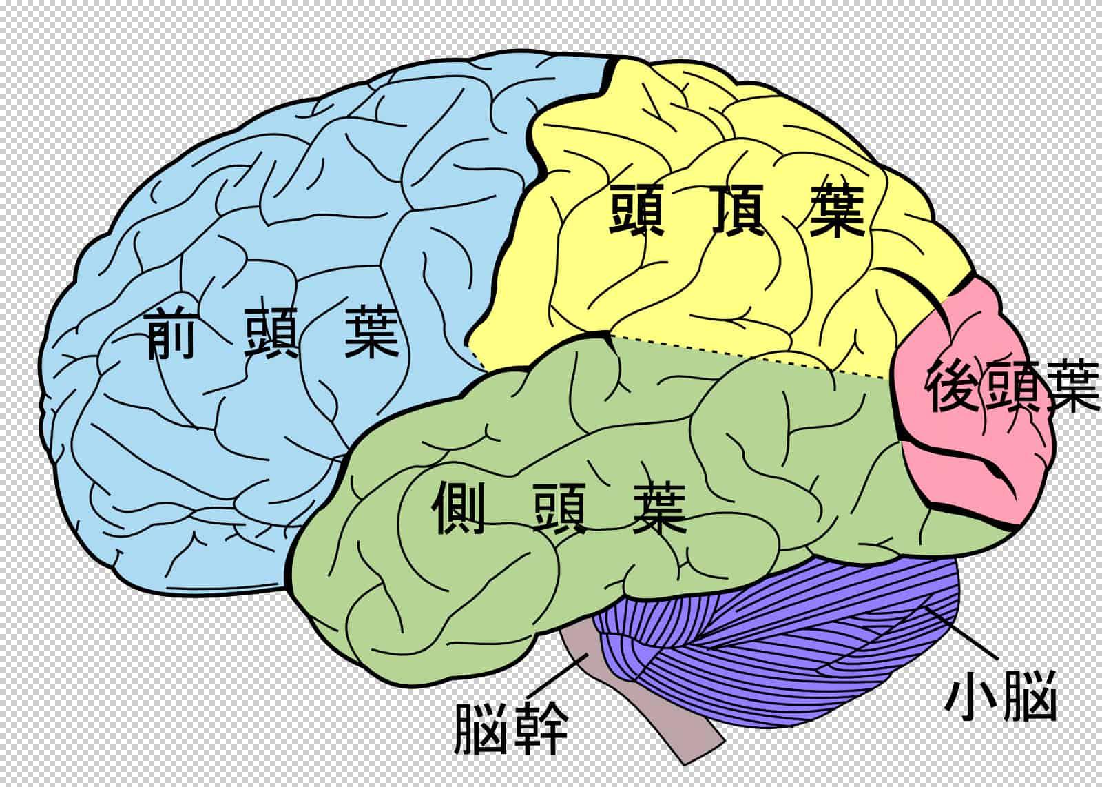 Único Diagramas De Cerebro Patrón - Imágenes de Anatomía Humana ...