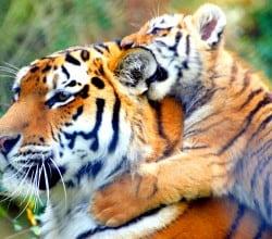 Tigre-com-Bebe-Tigre